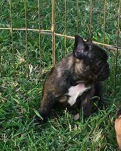 Frenchbulldog pups Beaudesert Ipswich South Preview