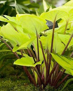 Hosta 'Fire Island' Plant in a 13cm Pot