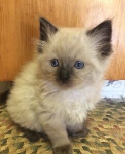 TIca registered ragdoll kitten