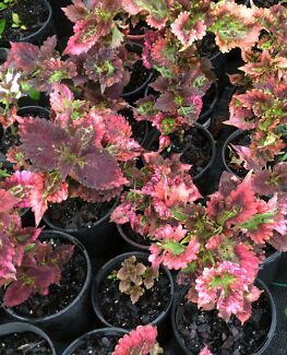 coleus plants in Brisbane Region QLD Gumtree Australia Free