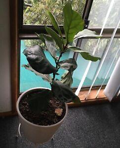 "Indoor / Outdoor Plant in big pot on Stand Large ""Fiddle Leaf Fig"""