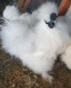 Silkie cockerels Brownsville Wollongong Area Preview