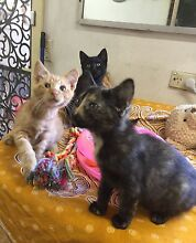 UEGENT URGENT RESCUED  3 SIBLINGS NEED FOREVER HOMES Riverwood Canterbury Area Preview