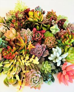 10 assorted succulent cuttings 10 varieties, beginners succulents