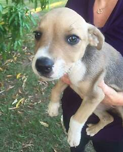 KelpieX Puppies for sale Morayfield Caboolture Area Preview