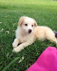 calm stable temperament stunning red&white border collie pups Brunswick Heads Byron Area Preview