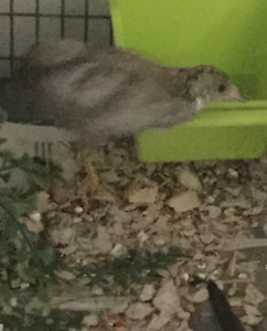 Cinnamon button quail males only