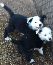 Border Collie pups Yarraman Toowoomba Surrounds Preview