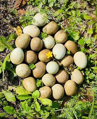 12 Button Quail Hatching Eggs Multiple Colors
