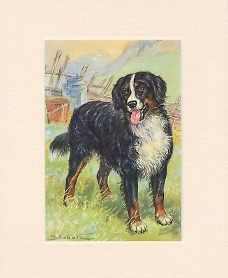 BERNESE MOUNTAIN DOG ORIGINAL OLD 1950's DOG ART PRINT READY MOUNTED