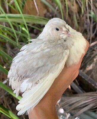 18 Silver Celadon Blue Coturnix Quail Hatching Eggs Shipped In Foam