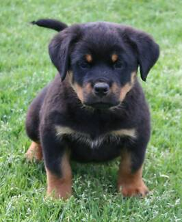 ROTTWEILER - PUREBRED FEMALE PUP - ONE ONLY !! Penrith Penrith Area Preview