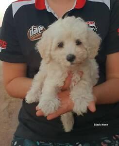 Australian Cobberdog puppies Registered Pedigreed