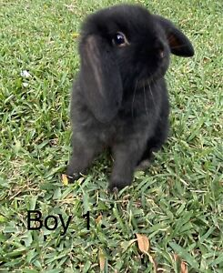 Mini Lop Ear Baby Bunnies