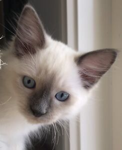 Female Blue Point Ragdoll kitten