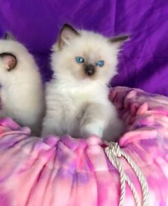 Pedigree Ragdoll Kittens - with papers