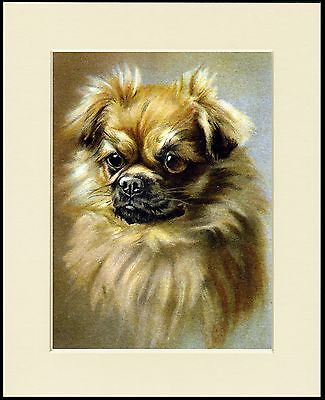 TIBETAN SPANIEL HEAD STUDY LOVELY DOG PRINT MOUNTED READY TO FRAME