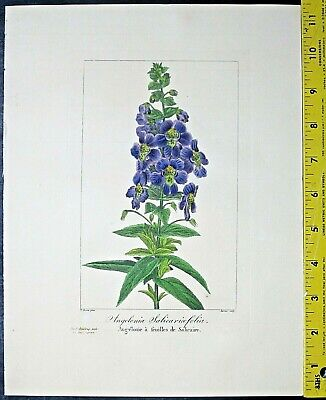 Bessa,P.Flore Des Jardiniers,Angelonia Salicarioeffolia,Engraving,c.1836 - $26.00