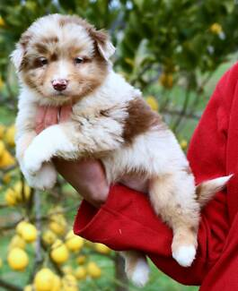 AUSTRALIAN SHEPHERD PUPS - PURE W PAPERS, IMPORTED LINES, G'NTEED Sydney City Inner Sydney Preview