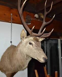 Taxidermy Red Deer head and shoulders trophy mount. McLaren Vale Morphett Vale Area Preview