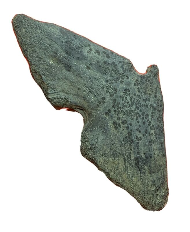 FOSSIL TUNA TAIL BONE authentic fossilized fish Miocene epoch fishing nautical