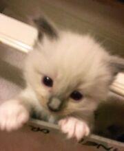 Ragdoll kitten blue point registered breeder Bentleigh East Glen Eira Area Preview