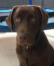 Beautiful Chocolate Labrador - 15 months old Chapel Hill Brisbane North West Preview