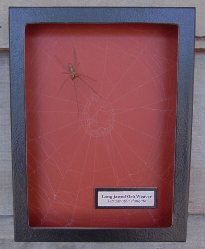 E715) Real Long-jawed Orb Weaver Spider on actual Web 6X8 framed taxidermy mount