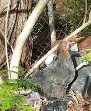 Beautiful  young  hen for sale Northmead Parramatta Area Preview