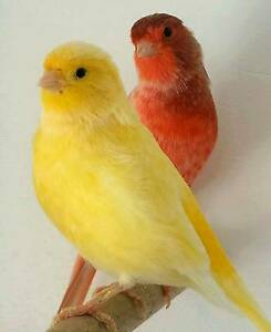 QUALITY CANARIES FROM $25ea Lawnton Pine Rivers Area Preview
