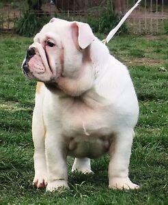 Pedigree British Bulldog Puppy. Bakery Hill Ballarat City Preview
