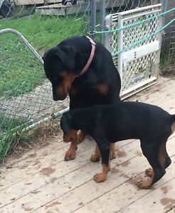 Doberman pups For Sale. (Ready Now ! )