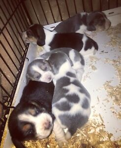 Beagle Puppies  very rare BLUE! Ready for Christmas!
