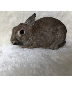 Beautiful Baby Chestnut Netherland Dwarf Bunny for Rehoming!