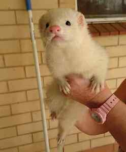 Two Ferrets for Sale Salisbury North Salisbury Area Preview