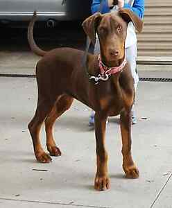 Doberman female  pedigree regersted Taylors Lakes Brimbank Area Preview