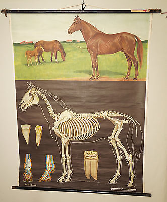 PFERD Horse Skelett Rollkarte Wandkarte Lehrkarte Schulkarte Schulwandkarte