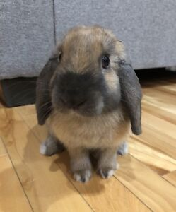 Adorable lop eared bunny