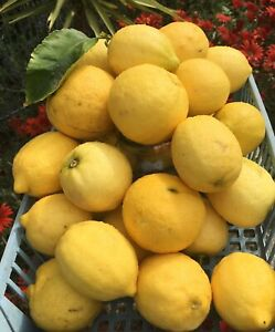 LEMONS - Freshly picked and homegrown - new stock 01/10