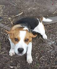 Male pup for sale Bagdad Southern Midlands Preview