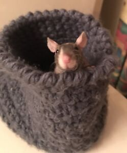 Sphinx (hairless) baby rats!