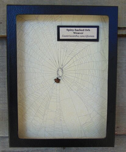 E702) Real Spiny-backed Orb Weaver Spider on actual Web 6X8 framed taxidermy USA