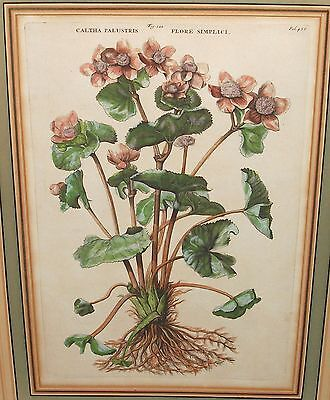CALTHA PALUSTRIS FLORE SIMPLICI ORIGINAL OLD COLOR ENGRAVING on Rummage
