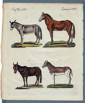 Esel Maultier Maulesel Quagga - BERTUCH 1800 ORIGINAL Donkey Hinny Mule