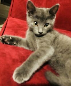 Hypoallergenic vaccinated Russian blue kittens
