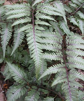 JAPANESE PAINTED FERN * Silver Falls * ...