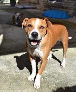 Buster - male Staffy x