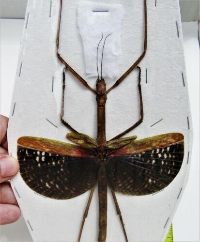 Seram Island Winged Stick Bug Anchiale maculata Female Spread FAST FROM USA