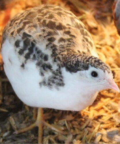 LIMTED TIME 20 Button Quail  Hatching Eggs NPIP & AI