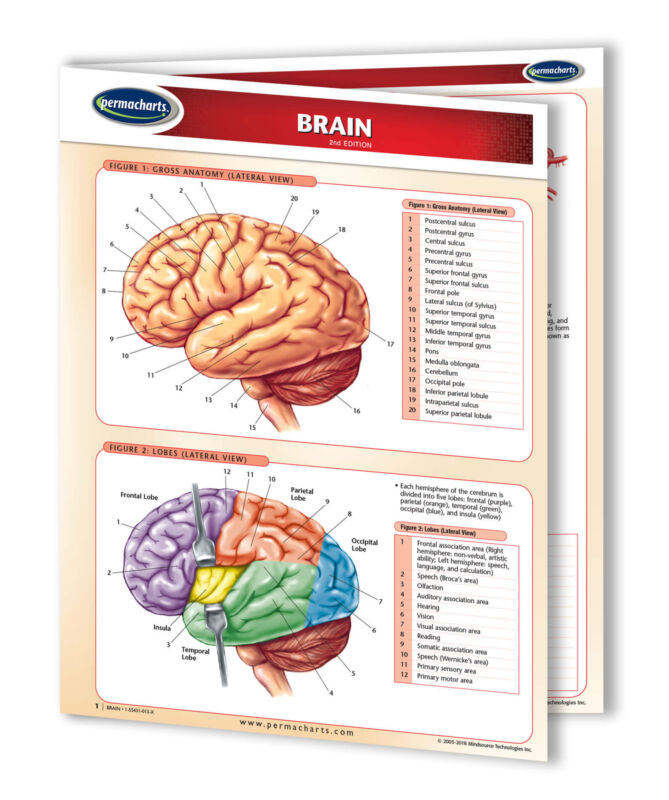 Brain - Medical Quick Reference Guide - Human Brain Chart